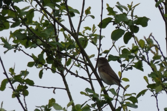 garden warbler 2.JPG